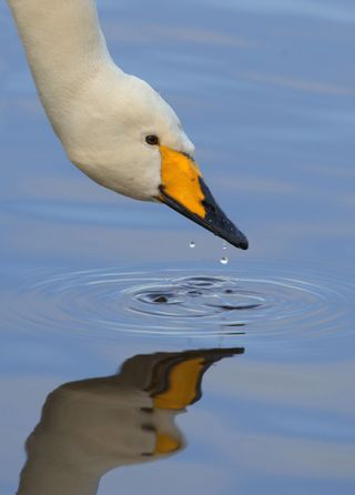 P Gibbs_swan with water droplets