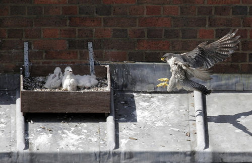 Manchester_peregrine_chicks21