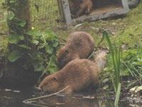 Beavers1